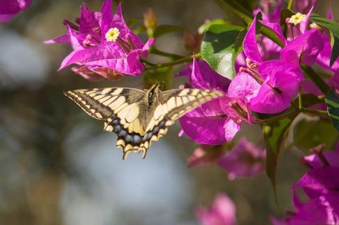 David Butterfly Photo via MSIAorg